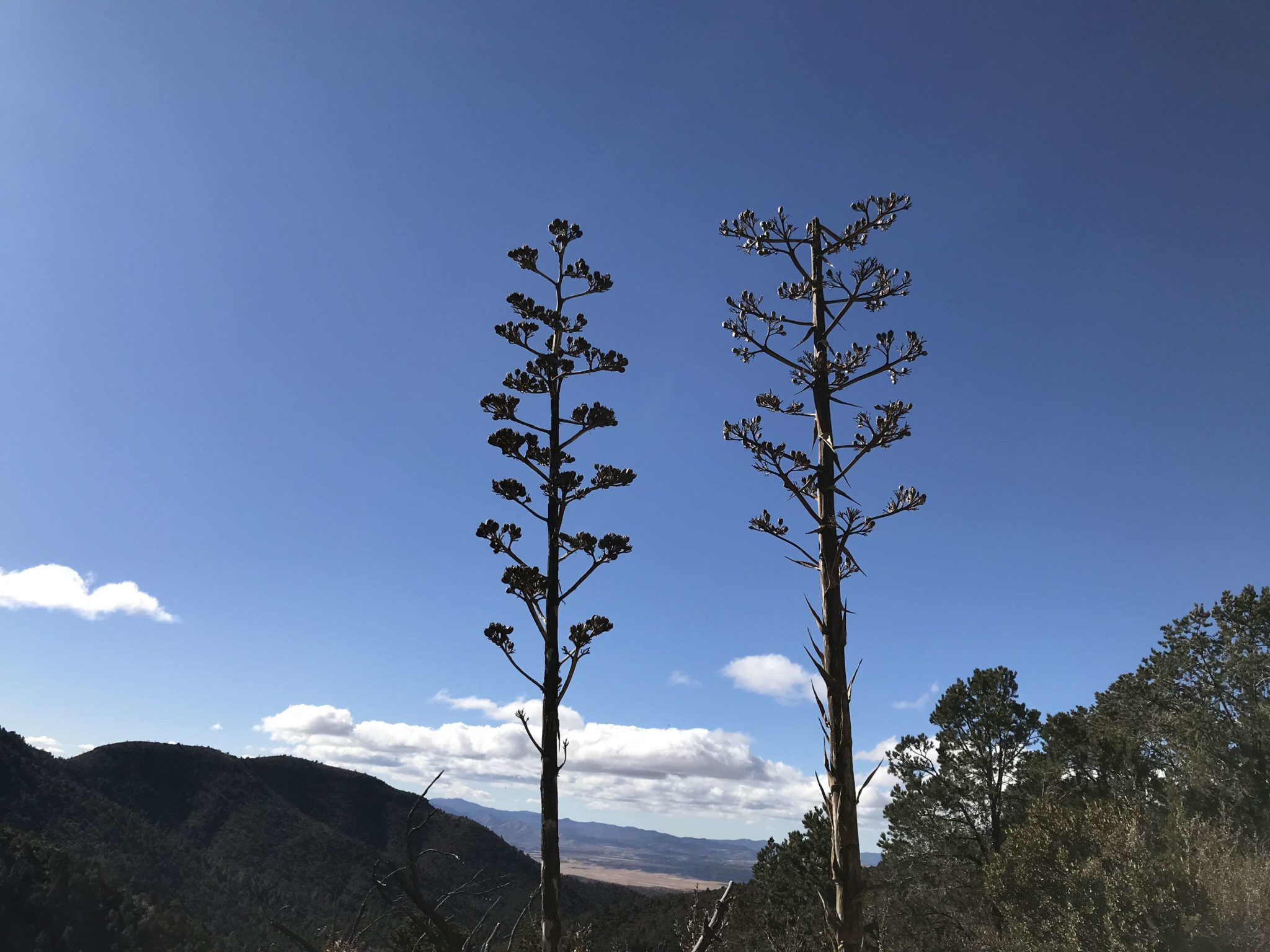 Century Plants at a high elevation